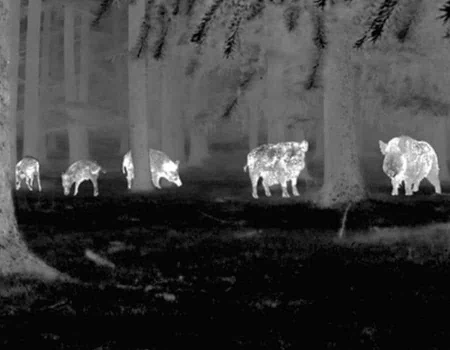 hunting hogs at night with a thermal scope