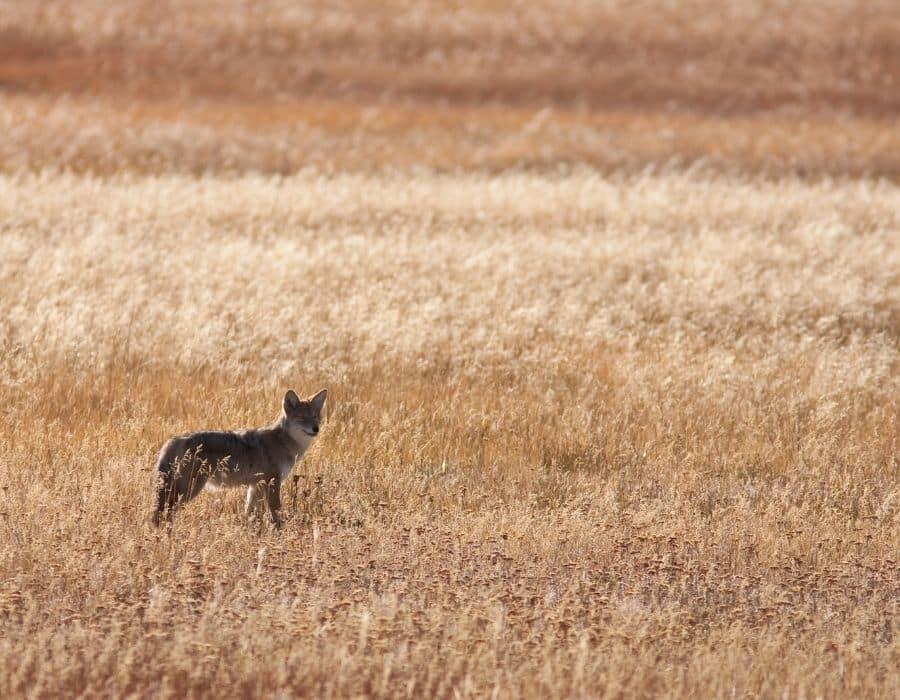 Arkansas Coyote Hunting at Night